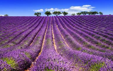 shutterstock_255016600-Lavender-field-in-Provence_-near-Sault_-France-