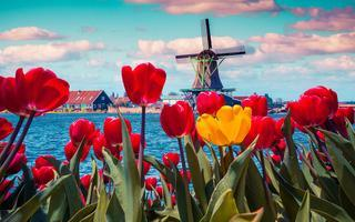 shutterstock_352493624-Blossom-tulips-in-the-Dutch-village-with-famous-windmills