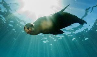 seal-swimming-karpathos