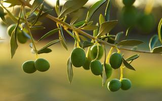 shutterstock_39713476_Detail-of-olive-tree